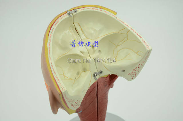 Free Shippingthe Pharyngeal Muscle Model Laryngeal Anatomy Modelthe Nosethroat And Tongue Muscle Modelhead Anatomy