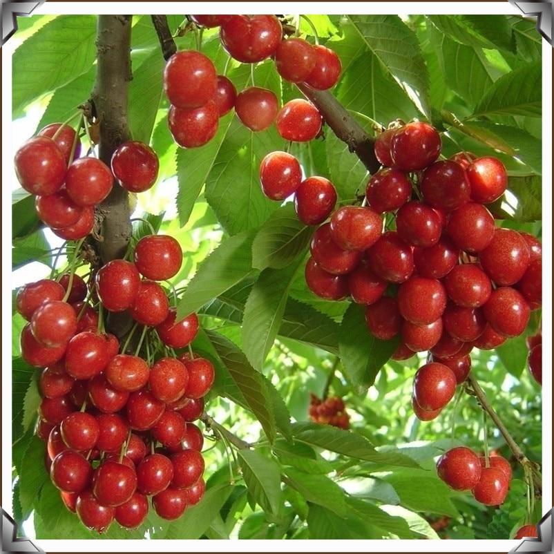 10 seeds Rare Bonsai Cherry Fruit Tree Seeds for Home Garden