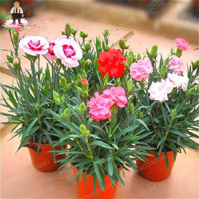 100 unids semillas de clavel bonsai jardin hermoso jardín de