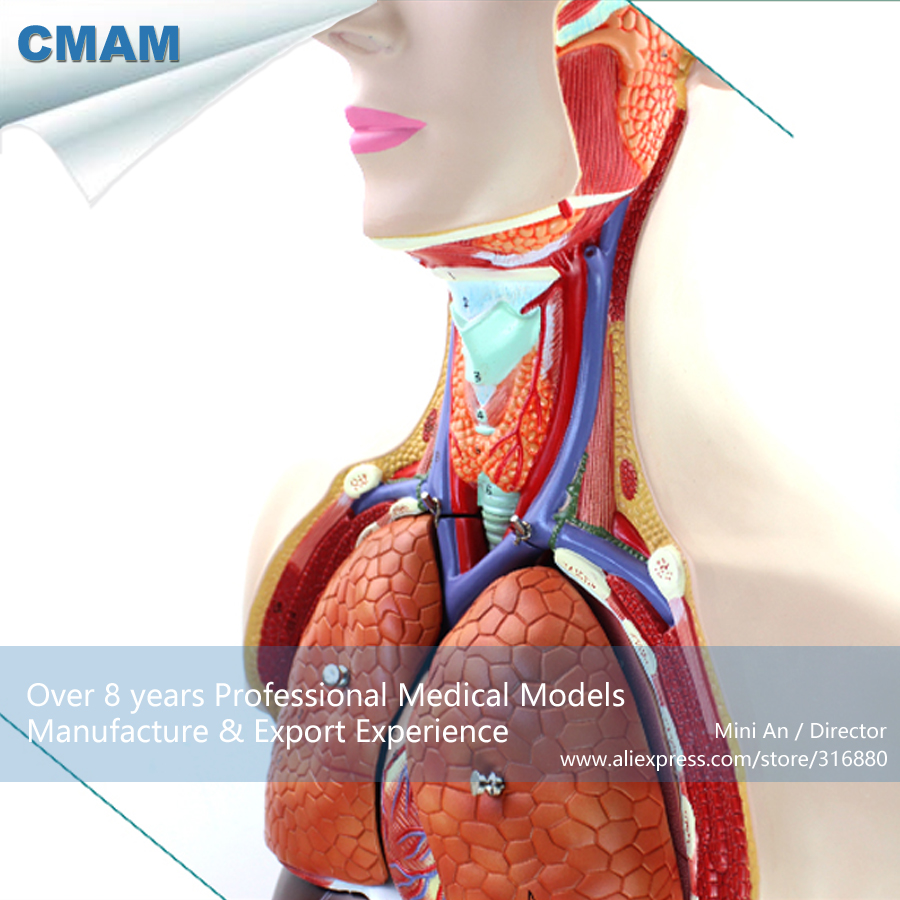 12019 CMAM-TORSO08 Anatomic Model of Body Organ Structure in 85CM Asexual Tunk, Medical Educational Teaching Anatomical Models romanian educational models in philosophy