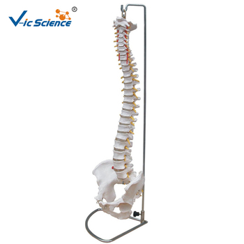 Life Szie Anatomical Human Spine Model Medical Science Teaching With Pelvis for Students