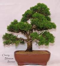 Juniper Tree Seeds 50pcs