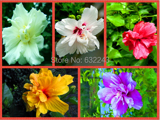 Super 100 Seeds Home Garden Mixed Rose Of Sharon Hibiscus Syriacus