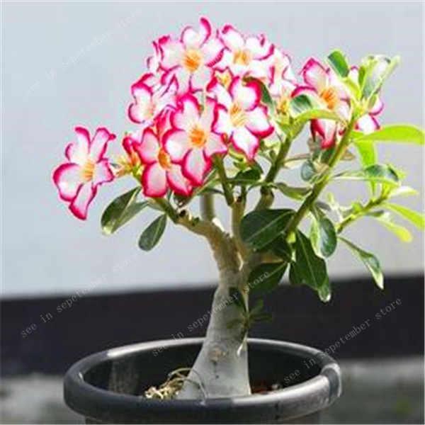20 قطعة 100% صحيح الصحراء الورود النباتات الغريبة الأدينيوم أوبسام النباتات زهرة بونساي النباتات تنقية الهواء حديقة المنزل بوعاء زهرة