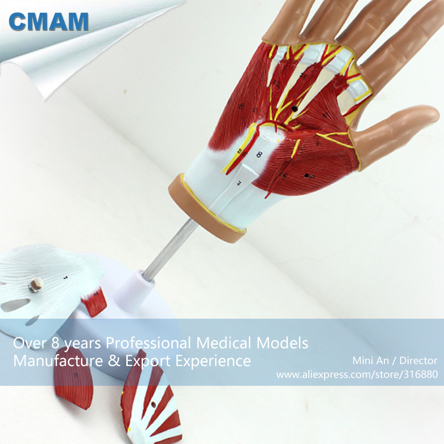 12031 CMAM-MUSCLE08 Life Size Muscles of Human Hand - 4 Parts, Medical Science Educational Teaching Anatomical Models 12023 cmam muscle01 half size human muscles of male with internal medical science educational teaching anatomical models