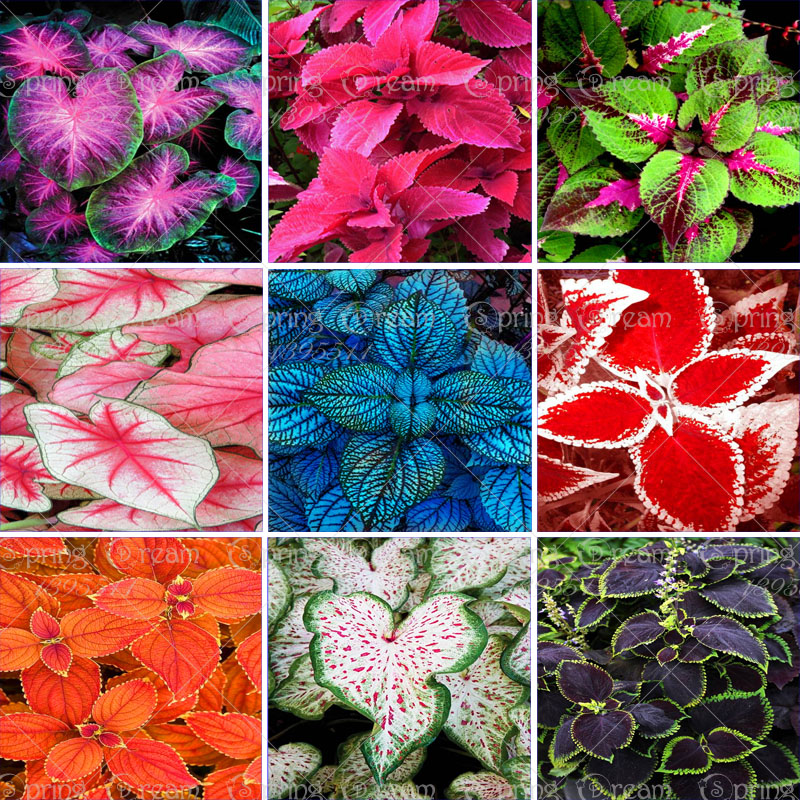 100pcs/bag Beautiful Coleus flower seeds Coleus flowers potted bonsai garden courtyard balcony home garden