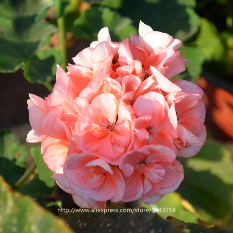ахименесы ризомы комнатные цветы заказать на aliexpress