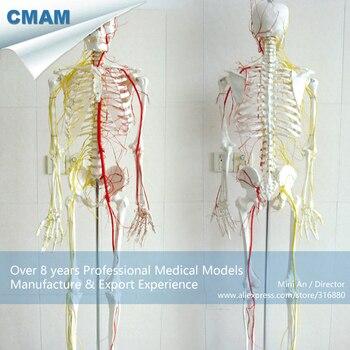 12362 / Human Skeleton 170CM Skeletal Neurovascular Model,Medical Science Educational Teaching Anatomical Models