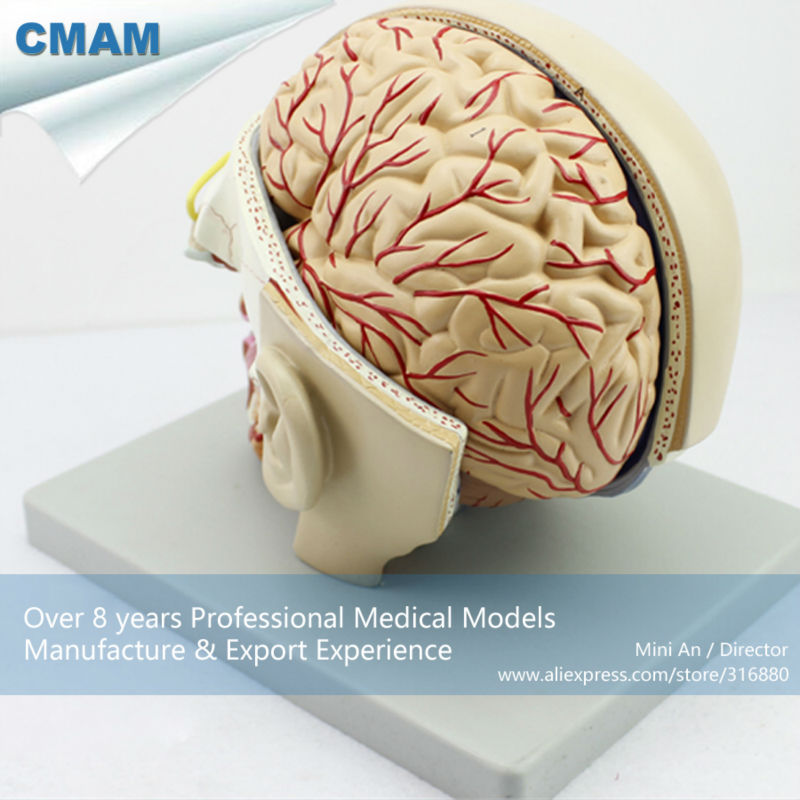 12401 CMAM-BRAIN04 sección de la cabeza con el cerebro, 4 de piezas ...