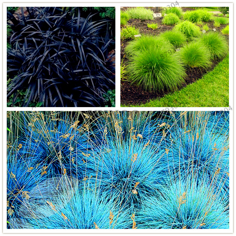 Buy 100pcs 2017 new blue fescue fesnea for Hardy tall ornamental grasses