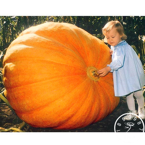 30PCS/pack Vegetable seeds, Atlantic Giant Pumpkin Seeds Garden Seeds,Free shipping,#WV11R6