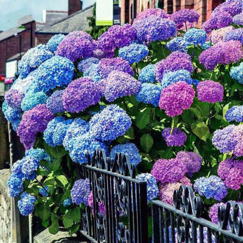 unids geranio semillas de flores de geranio hydrangea flores perennes de hoja perenne semilla home