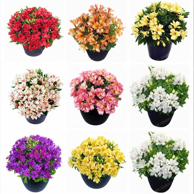 100 Pcs/Bag Alstroemeria Seeds Peruvian Lily Alstroemeria Inca Bandit  Princess Lily Bonsai Flower Seeds