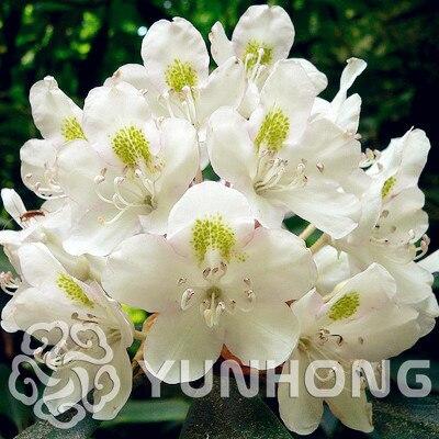 US $0 35 49% OFF 100 Pcs/bag Rare Bonsai Azalea plant Diy Home Garden  bonsai Plants China Edible Lily Flower Decoration Sementes Balcony  Planter-in