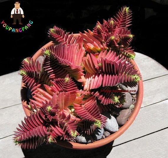 100 pz Rare Exotic Cactus Succulente bonsai Crassula Capitella Thyrsiflora Rosso Pagoda Perenne Giardino di Fiori di Trasporto libero