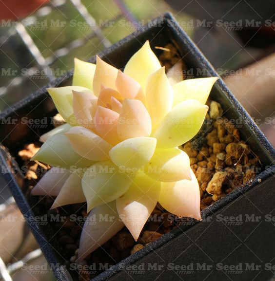 200pcs Rare Beauty Succulents plant Purify Air Easy To Grow Office Mini Potted Flower  bonsai  flower plant for Home  Garden