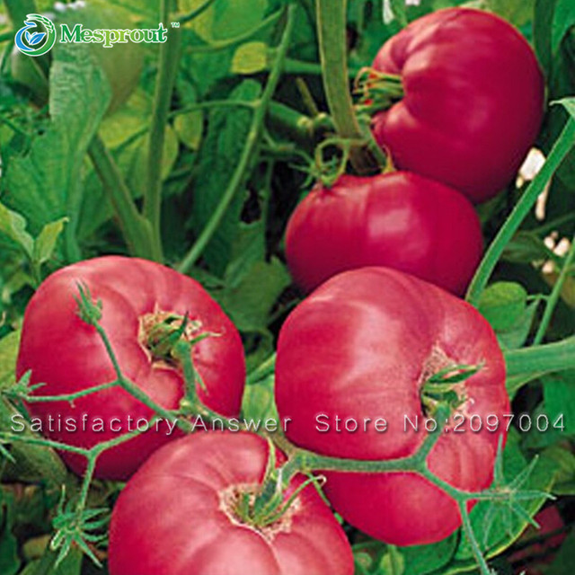 Rare Big Fruit Tomato Seeds Vegetables Potted  Seeds