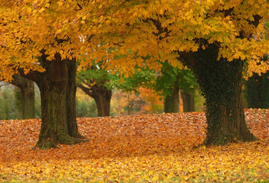 Laeacco Photographic Backgrounds Autumn Fallen Leaves Old Tree Maple Yellow Scenic Photo Backdrops Photocall For Photo Studio in Background from Consumer Electronics