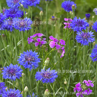 flower plant cornflower blue hibiscus lychee plant daisy grass plant can be broadcast four seasons genuine security 200g / Pack