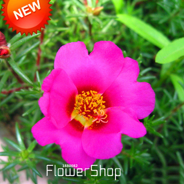 Best Selling!200 Seed/bag Purple Pink Univalve Portulaca Seed Potted Plant  Flower
