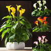 3pcs Calla With 18pcs Leaves Root Calla Real Flower
