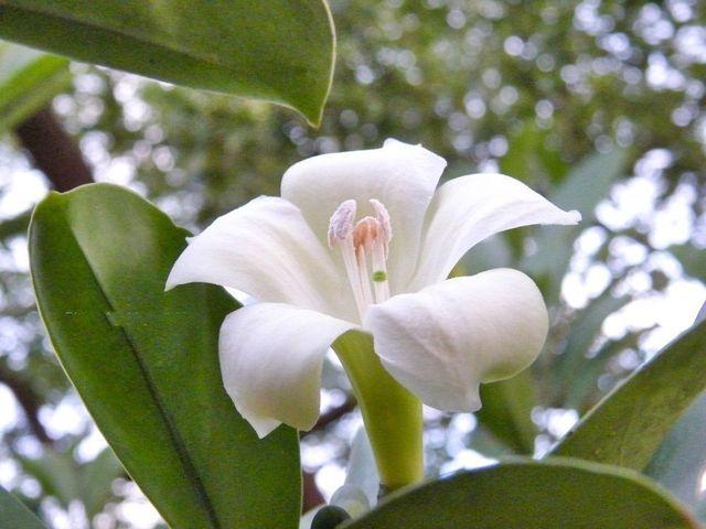 100pcslots Wholesale Fagraea Ceilanica Lovely Perfume Flower Tree