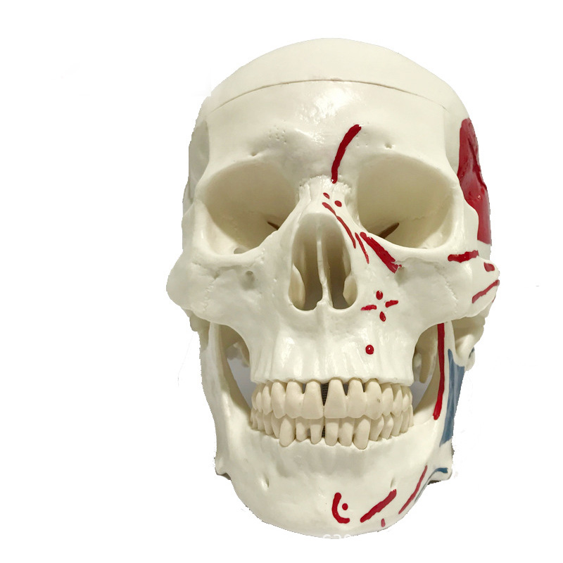 1:1 Medical Anatomical Human,Skull Model High Quality Classic Removable Medical teaching supplies