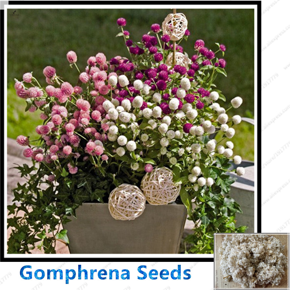 Gomphrena Seeds Pink Purple White Bonsai Flower Seeds 100pcs Ebay