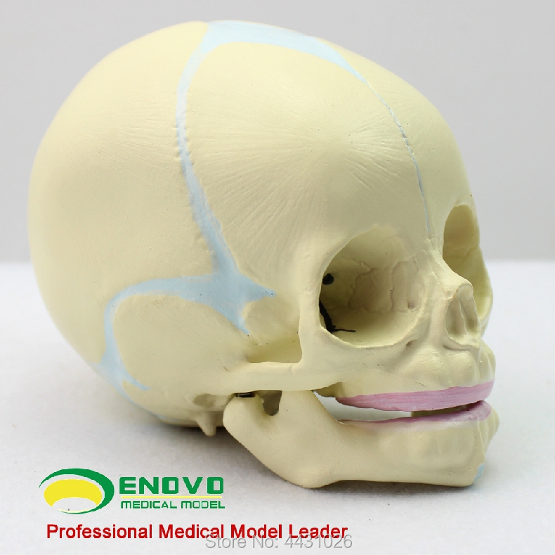 ENOVO Fetal skull model infant skull skull model human.skull model medicine iso advanced infant skull model anatomical skull model