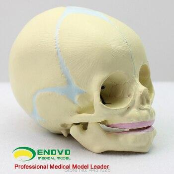 ENOVO Fetal skull model infant skull skull model human.skull model medicine фото