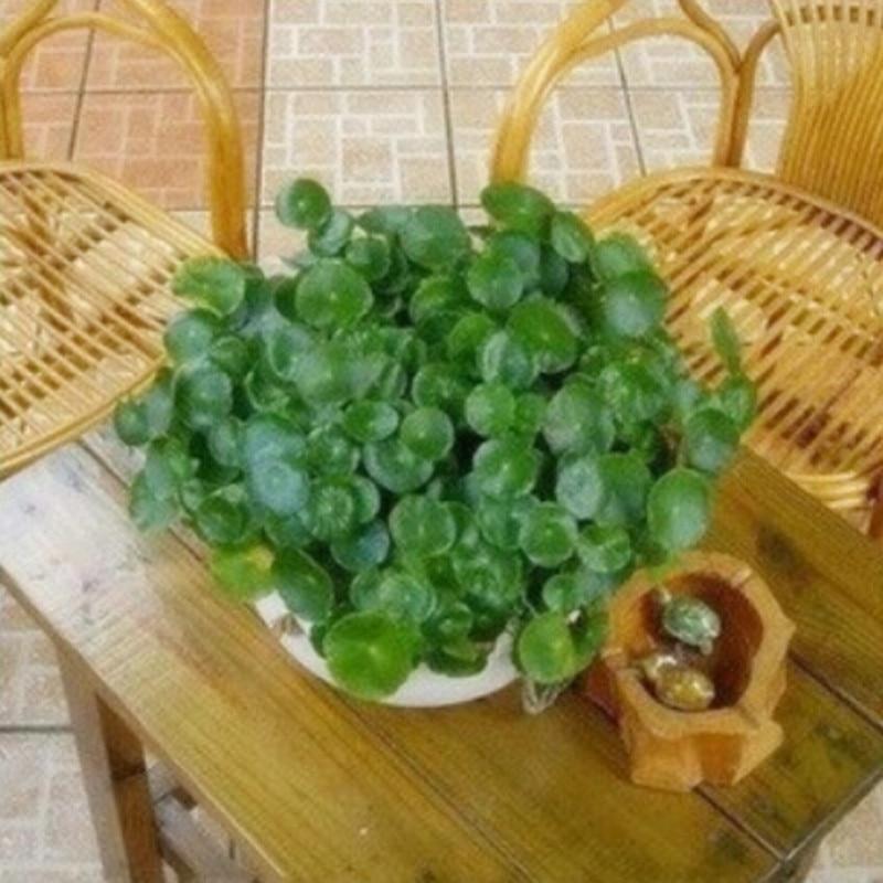 Buy Pilea Seeds Diy Potted Plants Indoor