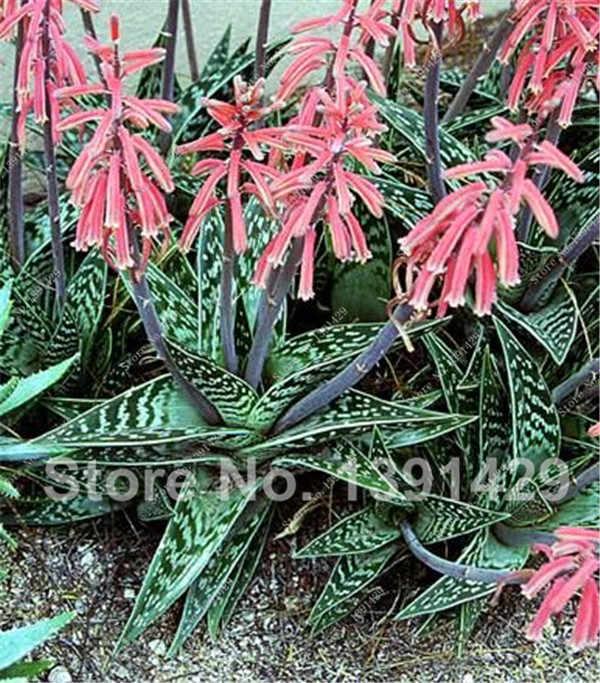 100 adet Aloe Vera Flores, Nadir Ot Bonsai Plantas Ağacı Plante Ev Bahçe Için Diy, yenilebilir Güzellik Kozmetik Kullanımı Meyve Sebze Tencere