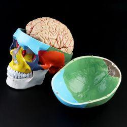 1:1 Bilancia Colorato Cranio Scheletro Adulto Modello di Testa con Il Cervello Staminali Anatomia Modello di Insegnamento Medico Strumento di Forniture