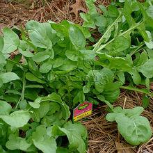 Arugula Seed * 1 Packet 20 Seeds * Rocket Salad * Roquette * Rucola * Rugula Seed Samen