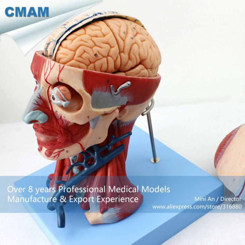 CMAM-MUSCLE15  Anatomical Teaching Model Head with Muscles and Brain Blood Vessel Anatomy cmam muscle06 human anatomical muscle model of head and neck