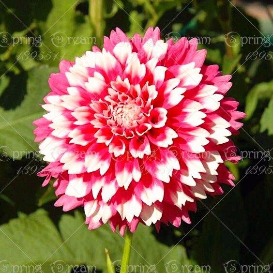 смешанные цветы георгины фото