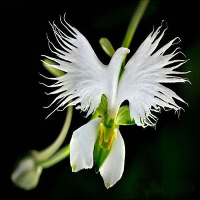 50pcs pack rare japanese white dove orchid seeds beautiful for Dove comprare bonsai