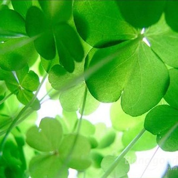 New arrivals 30pcs four leafs clover lucky plants yellow flower picture 1 of 30pcs four leafs clover lucky plants yellow flower seeds mightylinksfo