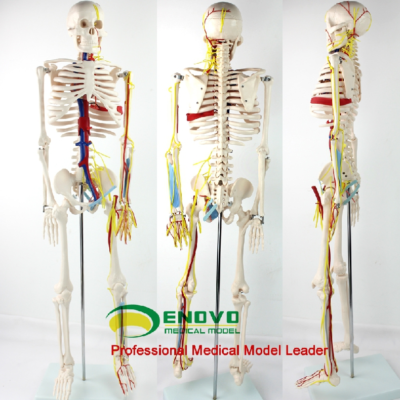 85cm Medical Human Model Heart Artery Spine Human Manikin model body meridians clear Medical Teaching incredible human body