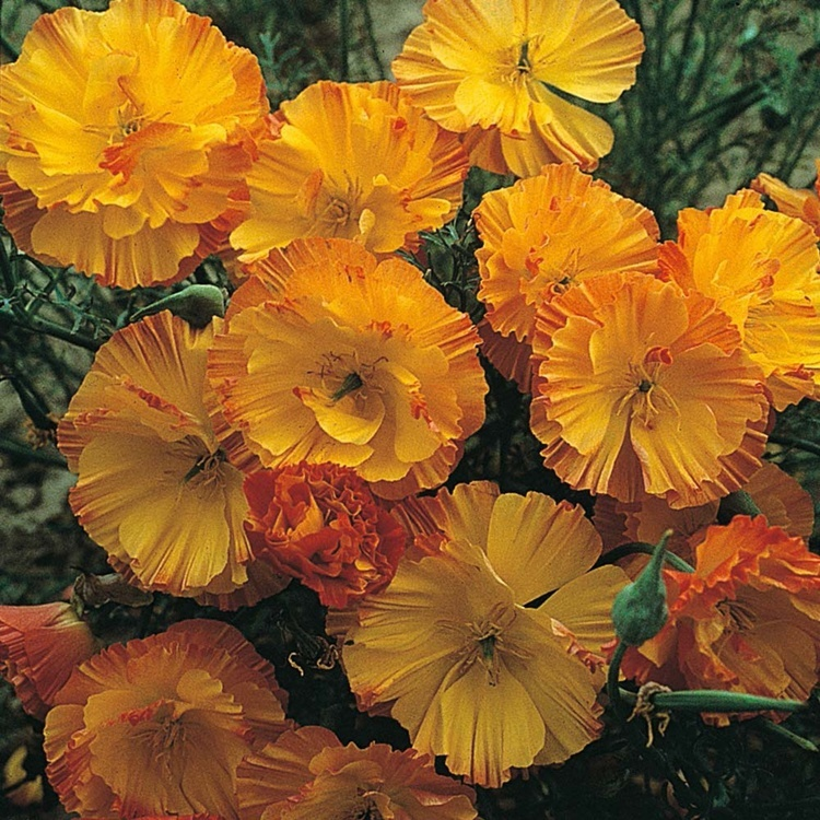 50 particlesbag double california poppy flower seeds for garden 50 particlesbag double california poppy flower seeds for garden rare perennial bonsai flowers seed super easy grow in bonsai from home garden on mightylinksfo