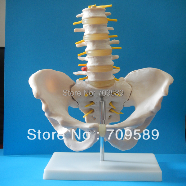 ISO  Life-Size Pelvis with 5pcs Lumbar Vertebrae, Anatomy Pelvis Model 12338 cmam pelvis01 anatomical human pelvis model with lumbar vertebrae femur medical science educational teaching models