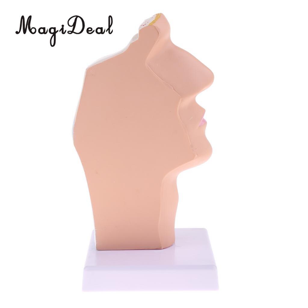MagiDeal 1:1 Human Nasal Oral Laryngopharyngeal Cavity Model Medical Study Kit for School Teaching Tool Learning Display