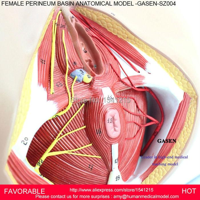 Atractivo Anatomía Muscular Vaginal Imágenes - Anatomía de Las ...