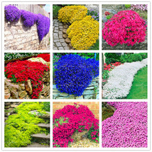 100seeds/bag colorful Thyme Seeds Perennial flower seeds Ground cover flower garden decoration Climbing plant Blue