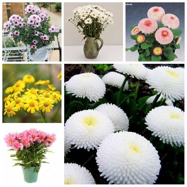 Promozione! 200 pz/borsa Arcobaleno Daisy Garden Misto Crisantemo Bonsai Fiore F