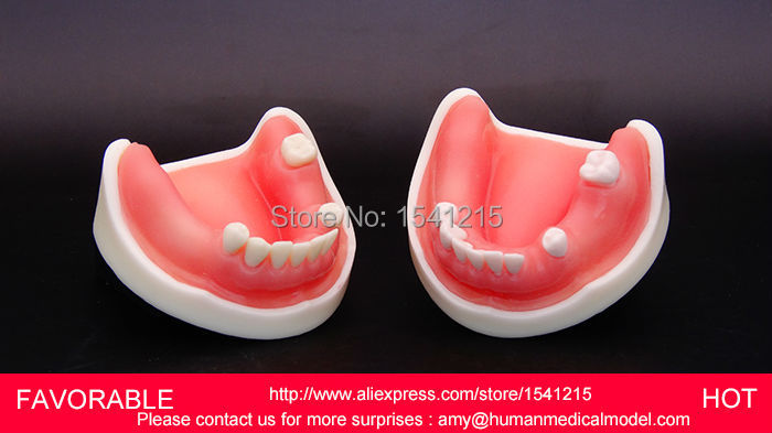 ADULT DENTAL TEETH NATOMIACL TOOTH, MEDICAL ANATOMICAL MODEL TOOTH MODELS MOUTH ORAL MODEL-GASEN-DEN016 teeth model tooth models mouth oral care brushing teaching study model adult standard multifunction dental care gasen den002
