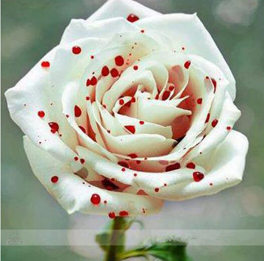 Diy Home Garden Rose Plant Crazy Promotion-s0110 Special Buy Liberal 100 Red Spot White Shrub Rose,rare Color rich Aroma