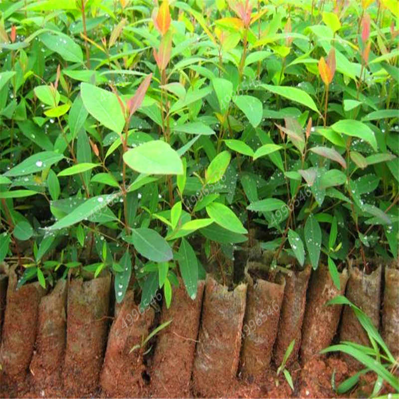 300 قطعة حديقة بونساي الأزرق الكافور البسيطة شجرة غريبة شجيرة زهرة الأواني المزارعون الاستوائية الحلي النباتات فناء زرع