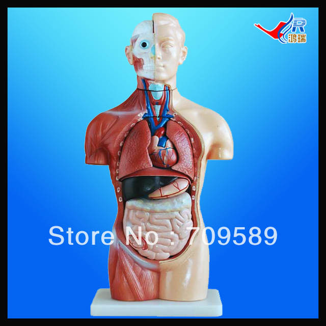 Online Shop Iso 42cm Sexless Torso With Internal Organs 18 Parts