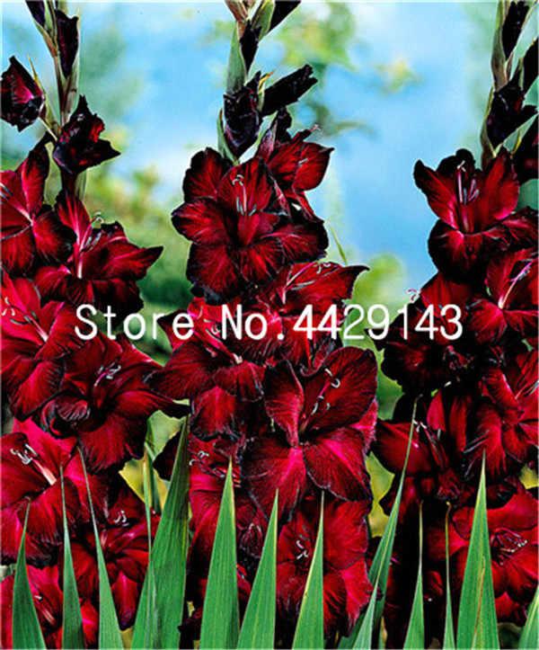 100 шт. Редкие полосатый гладиолус меч Лилия сад Plantas цветы Орхидея гладиолус бонсай растения гандавенсис высокая скорость выживания